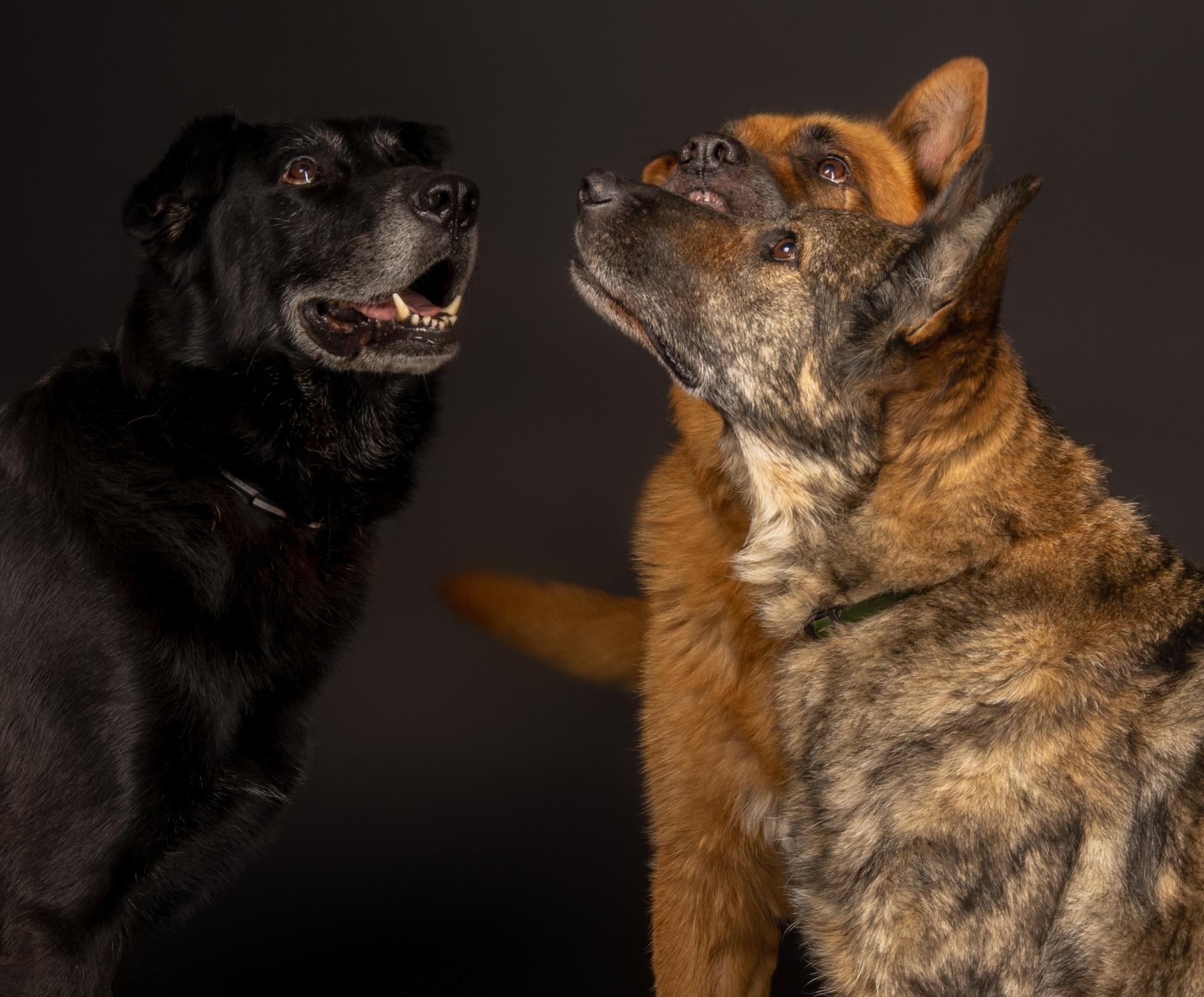 Hunde im Fotostudio